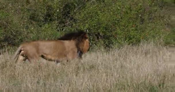 African Lion, panthera leo, Male walking through Savannah, Nairobi Park in Kenya, Real Time 4K