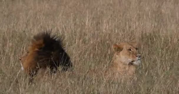 African Lion, panthera leo, Male and Female standing in Dry Grass, Nairobi Park in Kenya, Real Time 4K