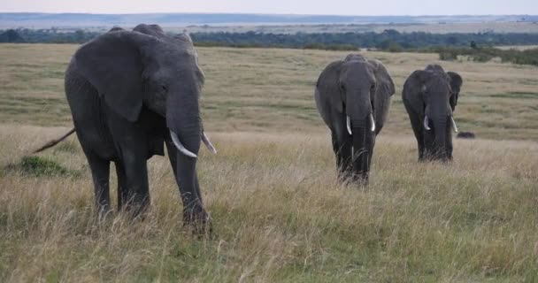 African Elephant, loxodonta africana, Group walking through Savannah, Masai Mara Park in Kenya, Real Time 4K