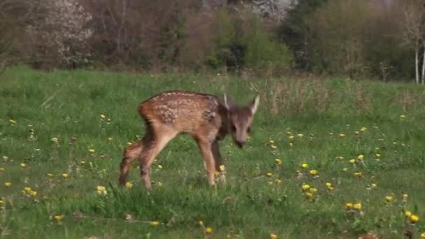 Roe Deer, capreolus capreolus, Fawn in Blooming Meadow, Normandie, Real Time