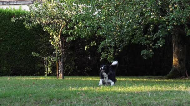 Border Collie Dog walking on Grass, playing Ball, slow motion