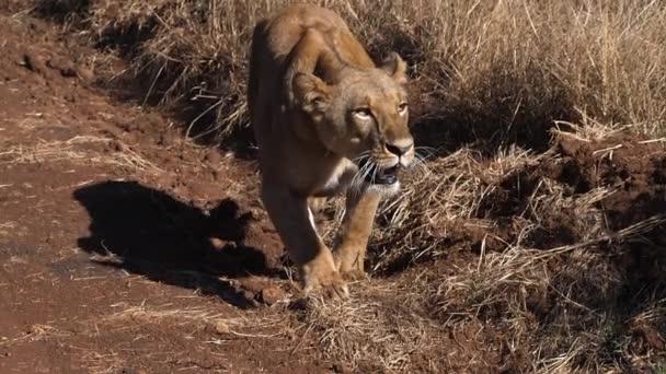 African Lion, panthera leo, Walking in Savannah, Female hunting, Nairobi Park in Kenya, slow motion