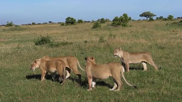 African Lion, panthera leo, Females Walking through Savannah, Tsavo Park in Kenya, slow motion