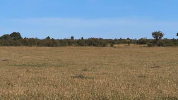 Savannah landscape in Tsavo Park, African Elephant, loxodonta africana, Kenya, Slow motion