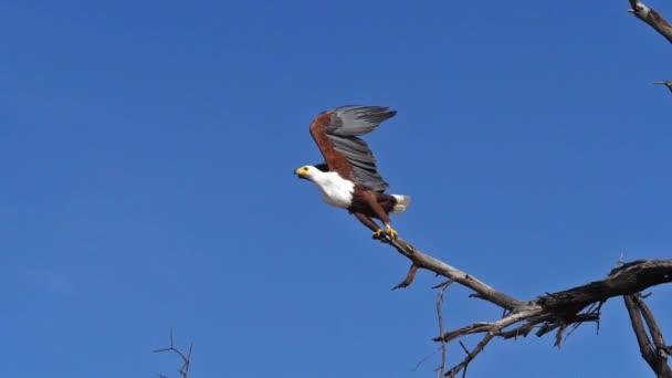 Afrikai hal-sas, haliaeetus vocifer, Felnőtt a fa tetején, Csapkodó szárnyak, repülés közben, Baringo Lake Kenyában, lassított felvétel