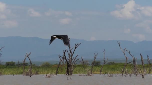 African Fish-Eagle, haliaeetus vocifer, Adulto in volo, ali battenti, Lago di Baringo in Kenya, movimento lento