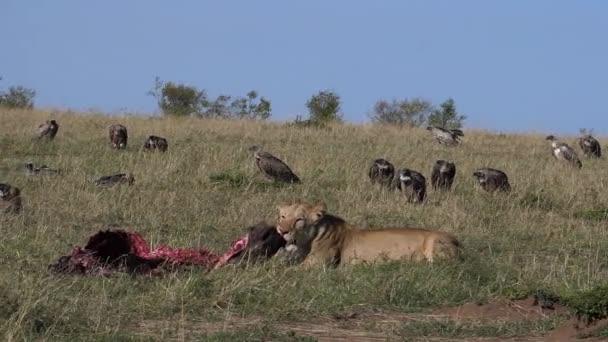 Afrikai oroszlán, Panthera leo, Nő ölés, Keselyűk, Masai Mara Park Kenyában, lassított felvétel