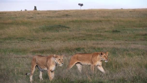 Afrikai oroszlán, Panthera leo, Nőstények Sétálni Savannah, Masai Mara Park Kenyában, lassított felvétel
