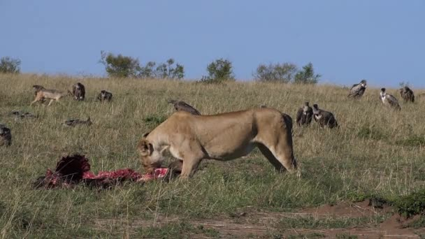 African Lion, panthera leo, Female with a Kill, Vultures, Black-backed jackal, Masai Mara Park in Kenya, slow motion