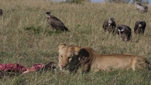 African Lion, panthera leo, Female with a Kill, licking its chops, Vultures, Masai Mara Park in Kenya, slow motion