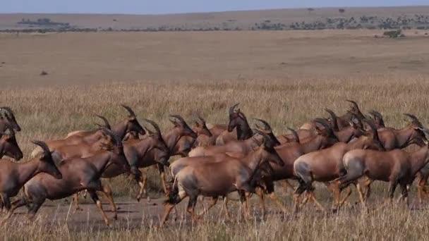 Topi, damaliscus korrigum, Grant s Zebra, Group running through Savannah, Masai Mara Park Kenyában, lassított felvétel