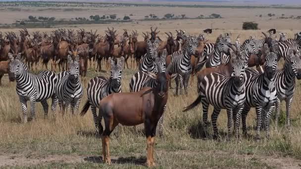 Topi, damaliscus korrigum, Grants Zebra, Group in Savannah, Masai Mara Park in Kenya, slow motion