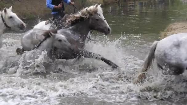 Camargue Horse, Herd crossing a river, Saintes Marie de la Mer in Camargue, Rider, in the South of France, Slow Motion