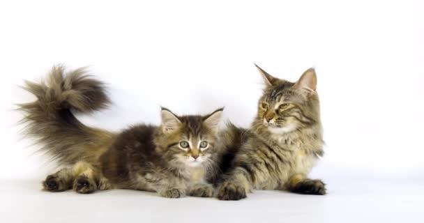 Brown Tortie Blotched Tabby Maine Mýval domácí kočka, Žena a kotě ležící na bílém pozadí, Normandie ve Francii, Zpomalení 4k