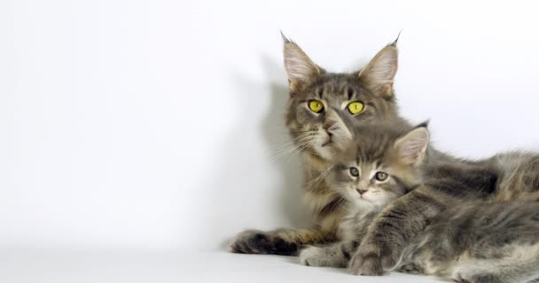Blue Blotched Tabby Maine Coon Domestic Cat, Female and Kitten laying against White Background, Normandy in France, Slow motion 4K