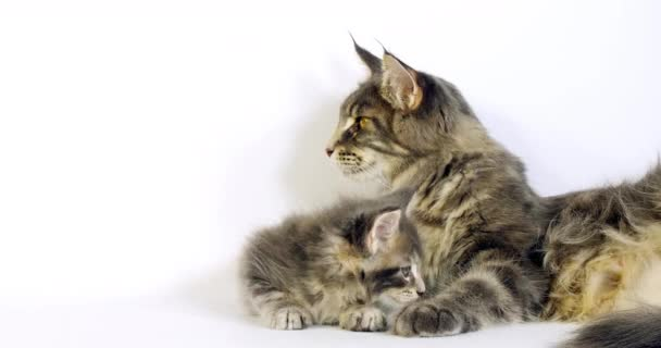 Brown Tortie Blotched Tabby Maine Coon and Blue Blotched Tabby maine Coon, Domestic Cat, Female and Kitten laying against White Background, Normandy in France, Slow motion 4K