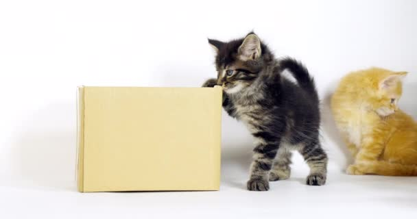 Brown Blotched Tabby and Cream Blotched Tabby Maine Coon Domestic Cat, Kitten playing in a Box against White Background, Normandy in France, Slow motion 4K