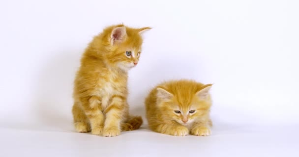 Krém Blotched Tabby Maine Mýval domácí kočka, Koťata hraje proti bílému pozadí, Normandie ve Francii, Zpomalení 4k