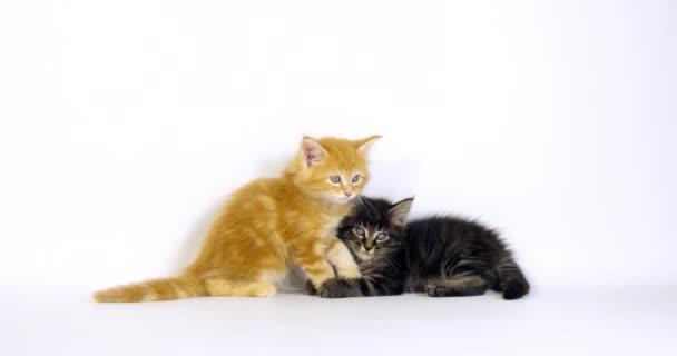 Brown Blotched Tabby and Cream Blotched Tabby Maine Mýval domácí kočka, Kotě hraje proti bílému pozadí, Normandie ve Francii, Zpomalení 4k