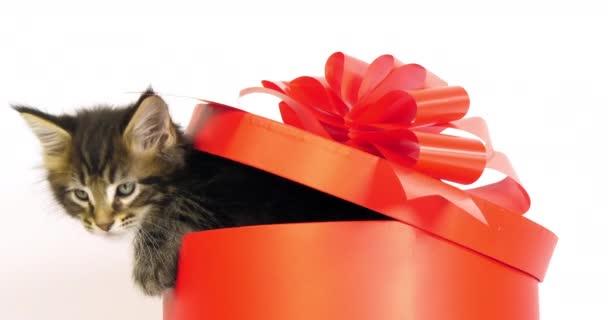 Brown Blotched Tabby Maine Mýval, Domácí kocour, Kotě nabízené v dárkové krabici, proti Bílému pozadí, Normandie ve Francii, Zpomalený film 4k