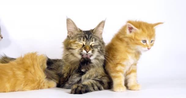Brown Tortie Blotched Tabby Maine Mýval a smetana Blotched Tabby Maine Mýval, Domácí kočka, Žena a kotě sání na bílém pozadí, Normandie ve Francii, Slow motion 4k
