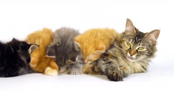 Brown Tortie Blotched Tabby, blue Blotched Tabby and Cream Blotched tabby and Brown Blotched Tabby Maine Coon, Domestic Cat, Female and Kitten Suckling against White Background, Normandy in France, Slow motion 4K