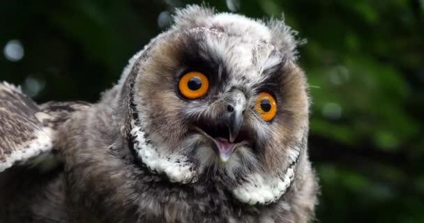 Long Eared Owl, asio otus, Portrét dospělého, Normandie ve Francii, Slow motion 4k