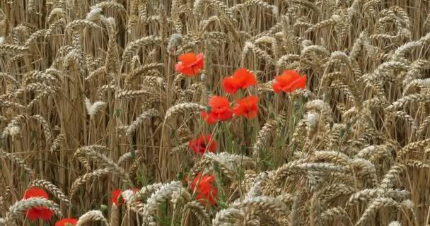 Poppies in a Wheat Field, papaver rhoeas, in bloom, Normandy in France, slow motion 4K