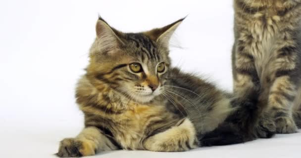 Brown Tortie Blotched Tabby Maine Coon, Domestic Cat, Portrait of a Kitten against White Background, Slow Motion 4K