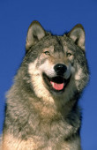 LOUP DU CANADA canis lupus occidentalis
