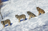 D Europe canis lupus leves
