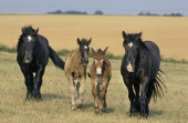 Mulassiere Et Mule