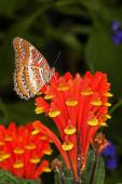 Papillon Cethosia cethisia biblis