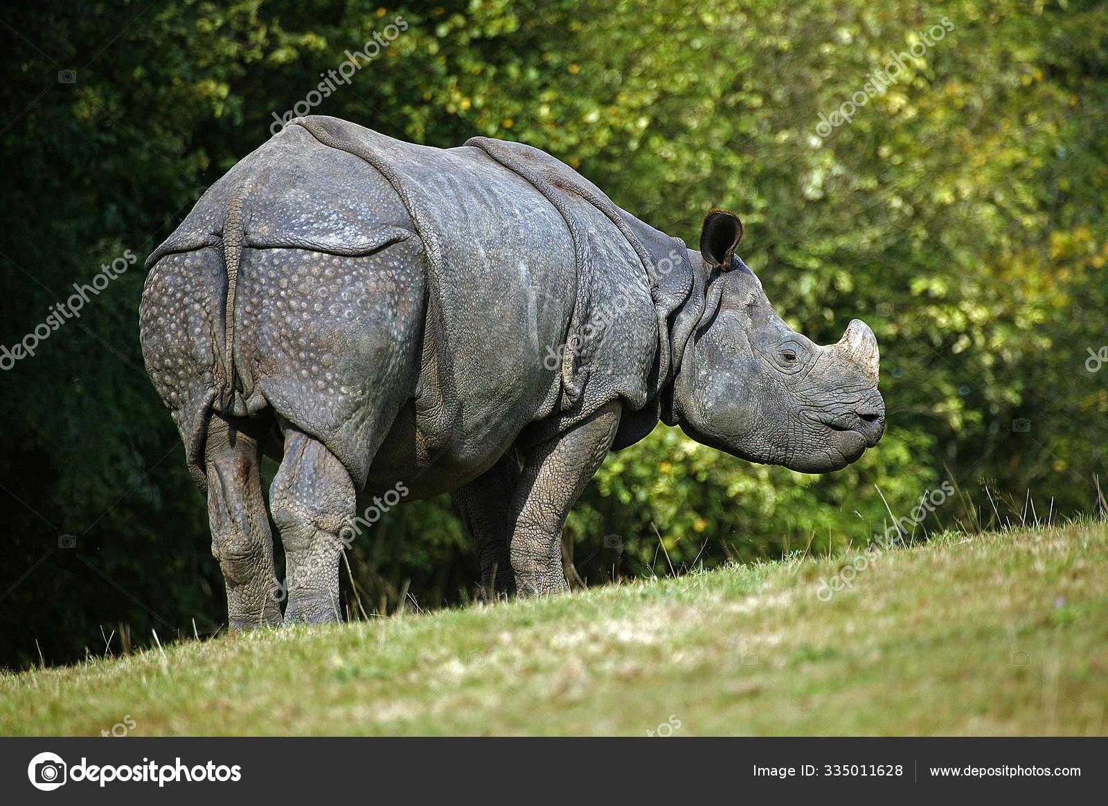 ᐈ Rhinoceros Stock Pictures Royalty Free A Rhinoceros Photos Download On Depositphotos