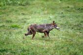 Loup Iberque canis lupus signatus