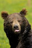 Brun ursus arctos fajunk