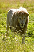 Lion Blanc panthera leo krugensis