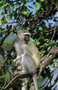 Vervet Monkey, cercopithecus aethiops, Adult standing on Branch, Kruger Park in South Africa