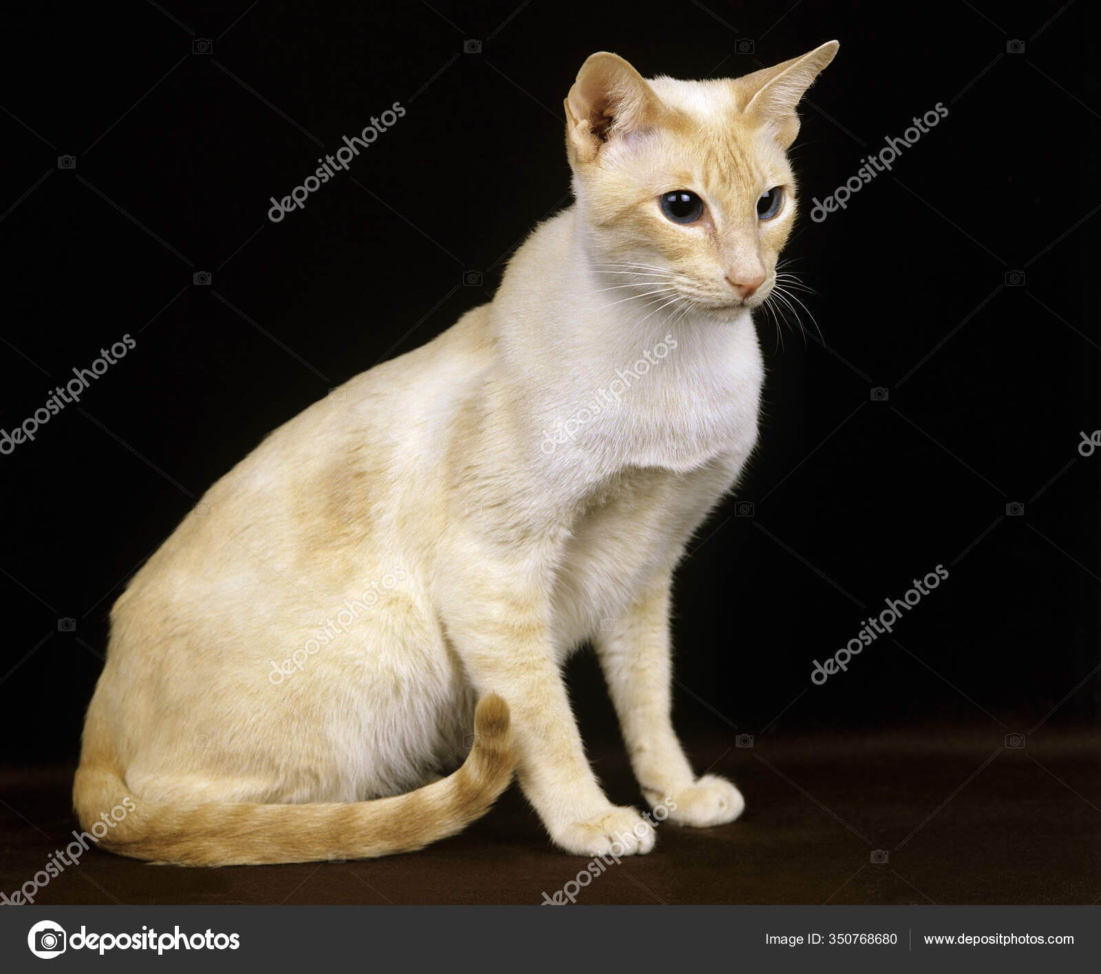 Red Point Siamese Domestic Cat Adult Black Background Stock Photo C Slowmotiongli 350768680
