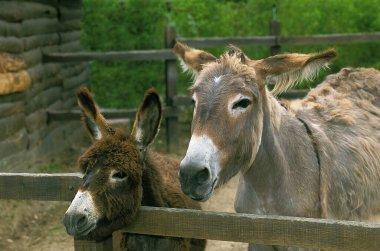 Donkey and Grey Donkey in a Farm, France