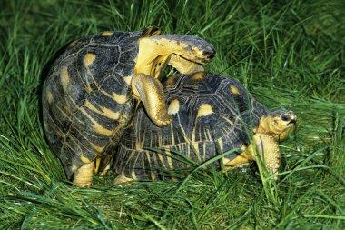 Madagascar Radiated Turtoise, geochelone radiata, Pair mating