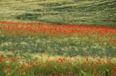Poppies, papaver rhoeas in Cereales Field