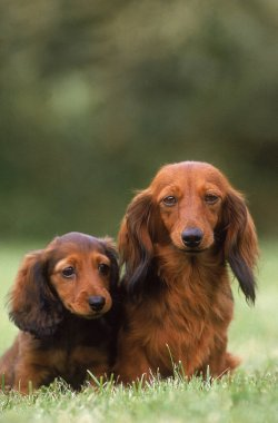 Long-Haired Dachshund,  Mother and Pup sitting on Grass
