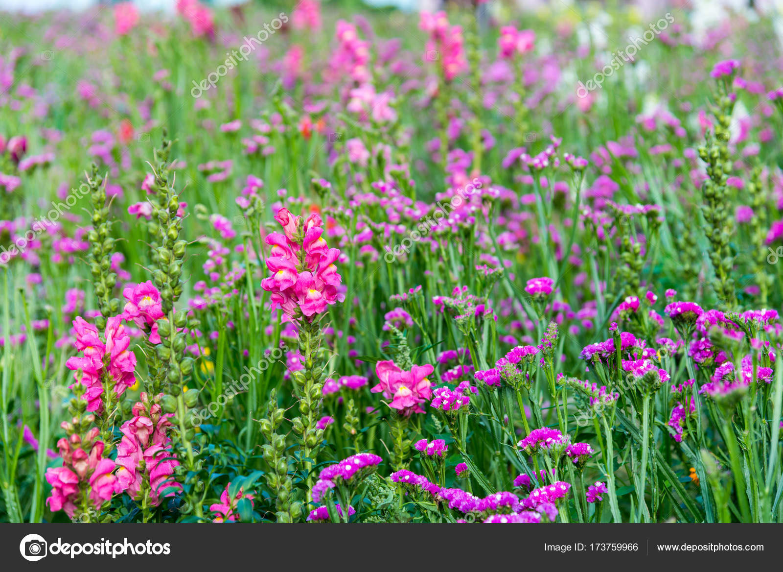 Field Of Blooming Pink Snapdragon Flower Stock Photo