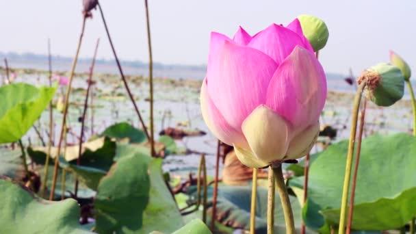 A Lotus, a természet, a virág