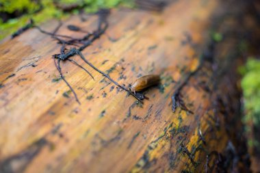 Slug on the forest path. Large Red Slug, Arion rufus