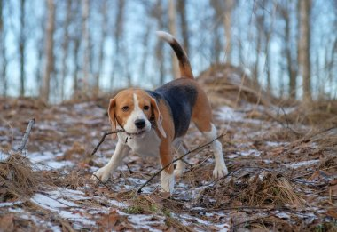 Beagle dog walking in the winter forest