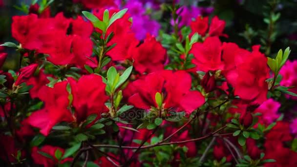 V moderní malé zahradní růžové pupeny kvetoucí, makrosnímky