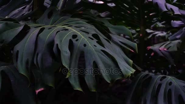 Plants with big leaves grow in jungles, close-up photography.