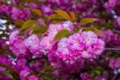 Jemné růžové květy rozkvetl japonská třešeň